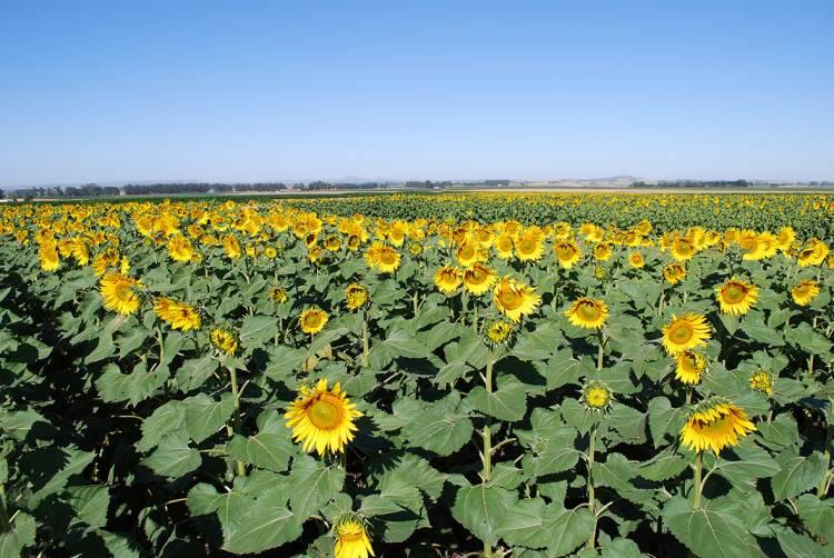 Creció la superficie sembrada de los cultivos de gruesa en la Provincia de Buenos Aires