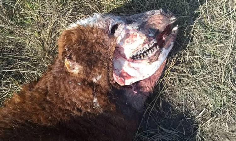 Misterio en Bordenave: una vaca mutilada, una cámara fotográfica y un resplandor en la oscuridad