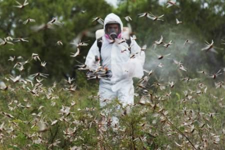 Langosta: se mantienen las acciones coordinadas para controlar la plaga