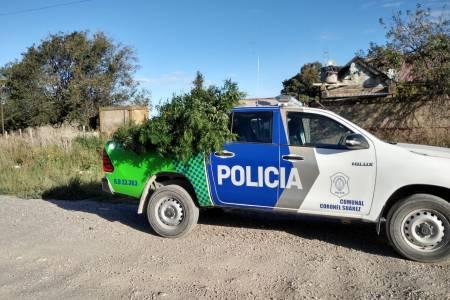 Denunció disparos y la Policía se encontró con una plantación de marihuana