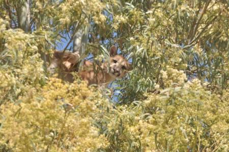 Condenado por cazar a un puma que le mataba las ovejas