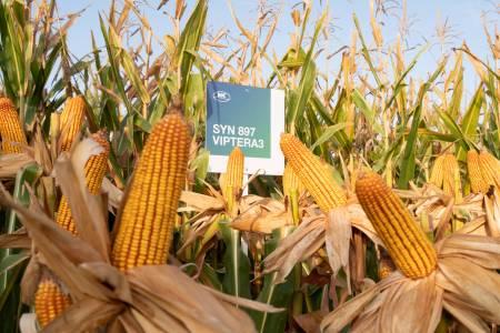 NK refuerza su campaña de maíz, con híbridos a la medida de cada región