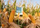NK lanza su campaña de maíz, con híbridos a la medida de cada región